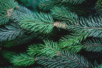 Christmas  Background with beautiful green pine tree brunch close up. Copy space..