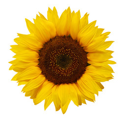 Poster Zonnebloem Ripe sunflower with yellow petals and dark middle, isolated on white background.