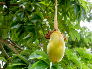 Fotorolgordijn Baobab African baobab fruit or Monkey bread