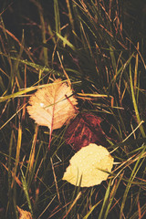 Leaves on the grass. Fallen leaves. Leaf fall. Golden autumn.