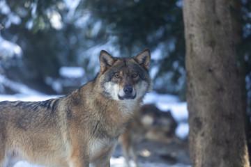 Meute de loups du Mercantour
