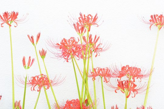 Background / Red spider lily