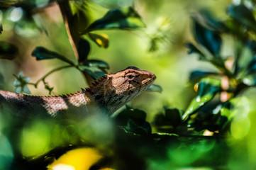 chameleon, asia, wild, lizard, nature, animal, brown, wildlife, green, background, reptile, dragon, beautiful, color, tree, closeup, natural, colorful, skin, tropical, close, garden, cute, outdoor,