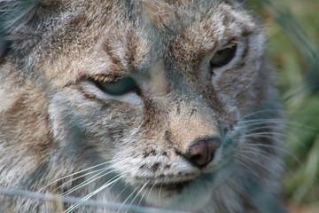 Tuinposter Lynx wilde Tiere