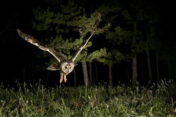 Long-eared owl (Asio otus), Hunting at night, in flight, flying