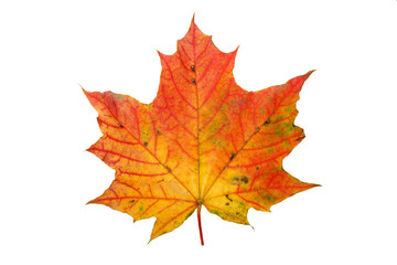 Autumn maple leaf, on white background. Isolated.
