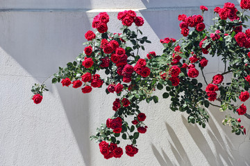 Ivy of red roses on a white wall