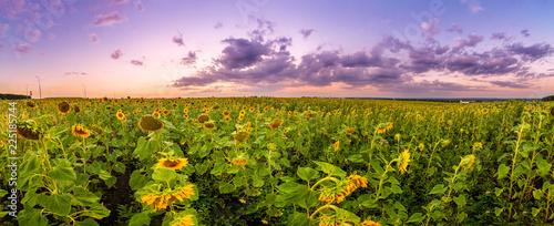 Fototapete Summer landscape: beauty sunset over sunflowers field. Panoramic views