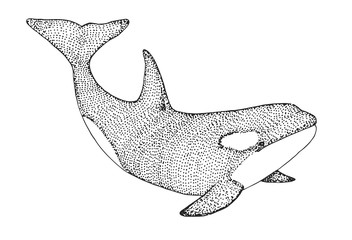 Hand drawn killer whale. Vector illustration in sketch style