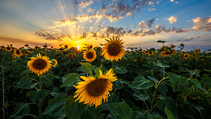 Aluminium Prints Village Summer landscape: beauty sunset over sunflowers field