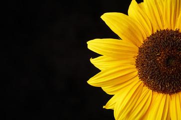 Sonnenblume im Anschnitt auf schwarzem Fond