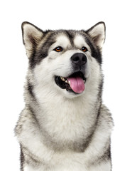 portrait of dog Alaskan malamute