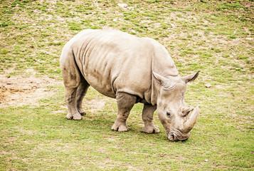 White rhinoceros, yellow filter