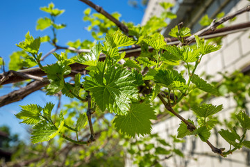 Grape branches on a blue sky background. Green grape leaves grow in the home garden next to the house.