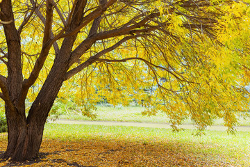 Yellow autumn tree. Autumn landscape with tree willow. Beautiful Autumn Park.