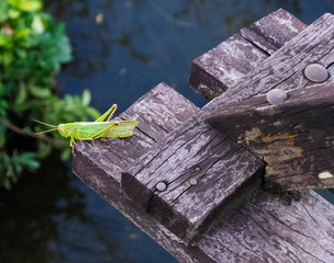 The green grasshopper stands on a brown wooden board,Small insects found on the farm.