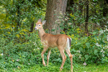 Young  white tailed deer in forest