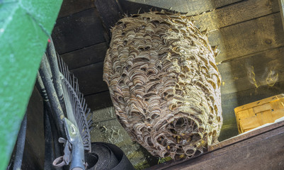 huge hornets nest  Vespa crabro, with a population of about 1000 animals