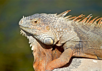 profile of iguana with orange dewlap and dorsal crests