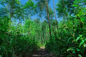 eucalyptus forest in Uganda