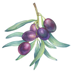 Olive branch with ripe fruit and leaves. Realistic illustration of black olives. Watercolor hand drawn painting isolated on a white background.