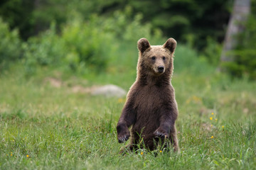 Wild Carpathian brown bear cub while standing in natural environment.
