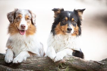 Two australian shepherd behind a tree