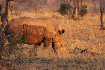 The white rhinoceros or square-lipped rhinoceros (Ceratotherium simum) is walking in the savanna and eating yellow grass in beutiful morning orange light