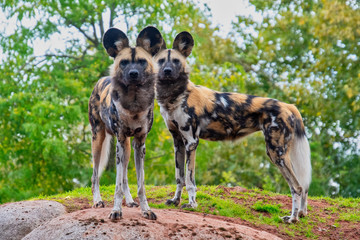 Two painted dogs standong on a mound Wall mural