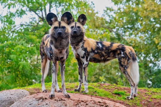 Two painted dogs standong on a mound