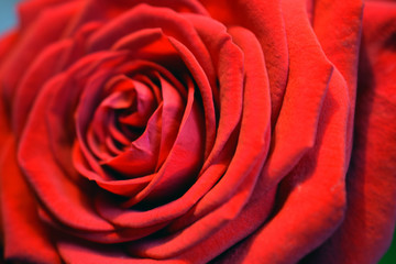 Red rose close up. Beautiful scarlet petals. Horizontal macro image.