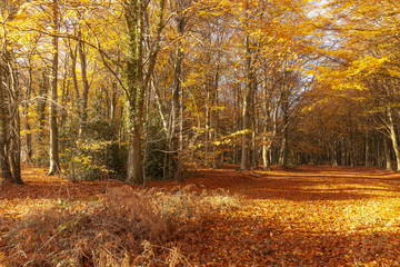 Autumn woodland trees in amazing colour
