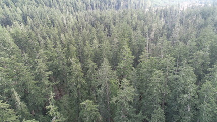 top view of green pine trees