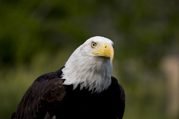 Fototapete - Bald Eagle Portrait
