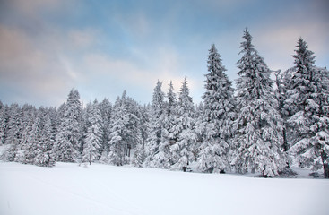 winter background of snow covered fir trees in the mountains