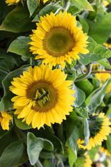 Sonnenblumen, Garten, bio