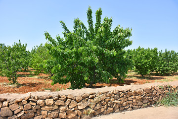 Cherry tree plantation