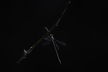Pallid Spreadwing Damselfly (lestes pallidus) Hanging On To A Branch