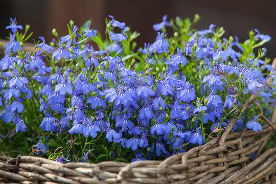 Fresh blue Lobelia flowers in wicker basket on green foliage background.