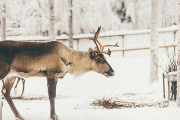 alive deer with horns in snow forest