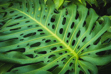 Tropical  plants, leaf of Monstera /Philodendron leaves