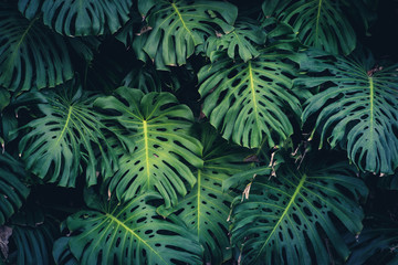 Monstera Philodendron leaves - tropical forest plant Wall mural