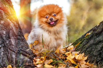 Cute smiling Pomeranian spitz in autumn fall forest on sunny day.
