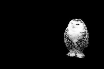 owl isolated on black background