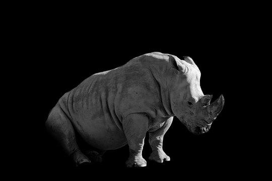 tired rhinoceros  isolated on black background