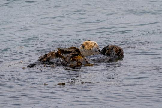 California Sea Otter (Enhydra lutris nereis)