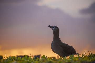 Black-footed Albatross (Phoebastria nigripes), courtship dance display, Midway Atoll, Northwestern Hawaiian Islands