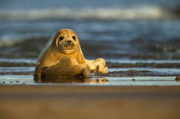 Common seal, North Sea, UK
