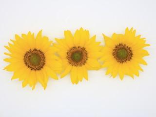 Sunflowers close-up isolated on white background.
