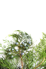 Fresh green thuja Chinese arborvitae, white cedar branch, seeds and foliage isolated on white background.